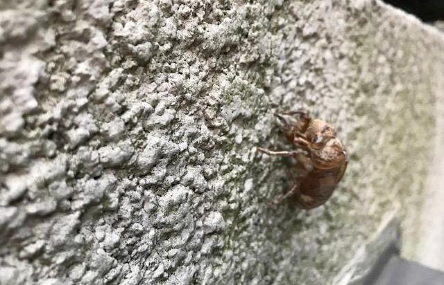 私の家の壁についているセミの抜け殻
